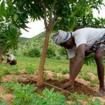 vicente plantar-mangos